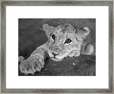 Baby Lion Closeup Black And White Framed Print