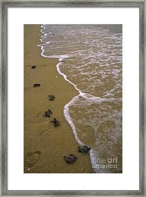 Baby Loggerhead Turtles Head Framed Print