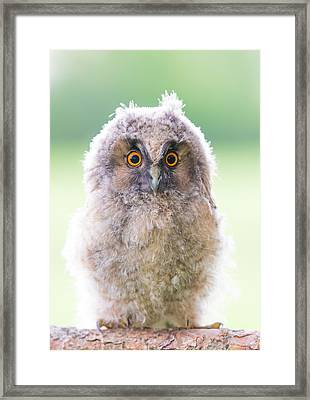 Baby Long-eared Owl Framed Print by Janne Mankinen