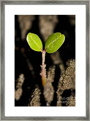 Baby Mangrove Shoot Framed Print