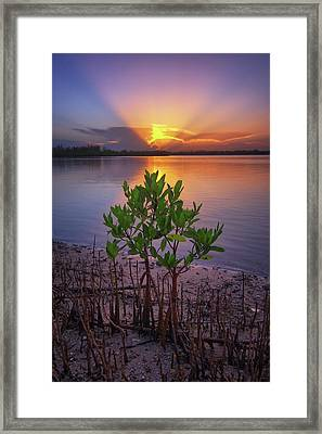 Baby Mangrove Sunset At Indian River State Park Framed Print