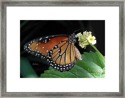 Baby Monarch Macro Framed Print by Felipe Adan Lerma