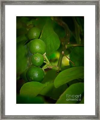 Baby Oranges Framed Print by Robert Bales