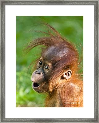 Baby Orangutan Framed Print by Andrew  Michael