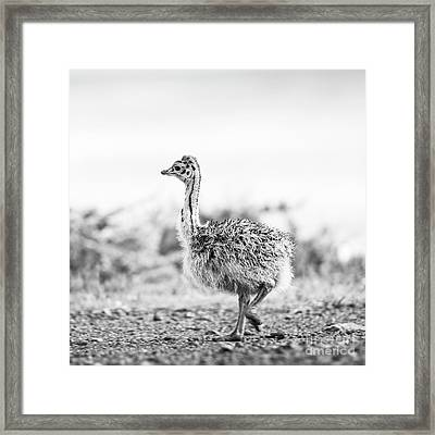 Framed Print featuring the photograph Baby Ostrich Black And White by Tim Hester