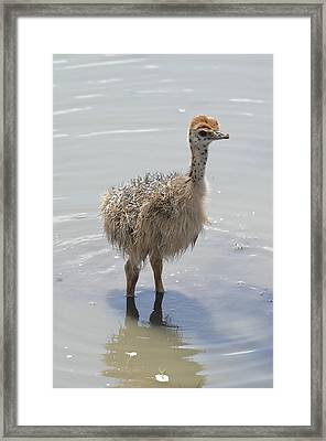 Baby Ostrich Framed Print by Keith Lovejoy