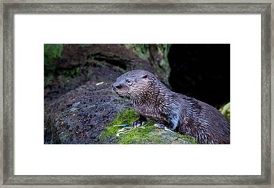 Framed Print featuring the photograph Baby Otter by Kelly Marquardt