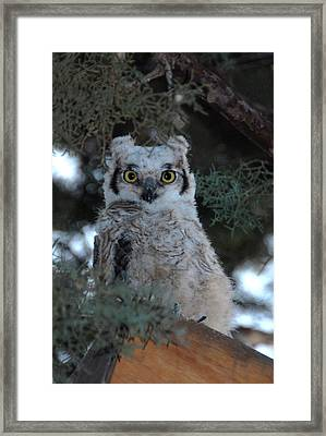 Baby Owlet  Framed Print by Bill Hyde