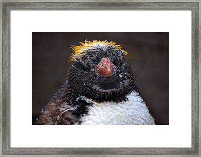 Baby Penguin Framed Print by Rob Hawkins