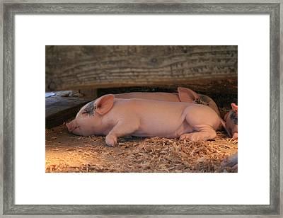 Baby Piglets Framed Print