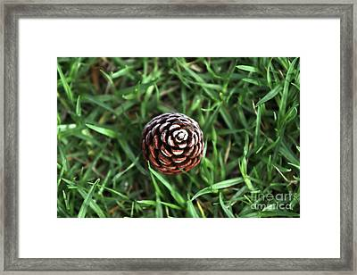 Framed Print featuring the photograph Baby Pine Cone by Stephen Mitchell