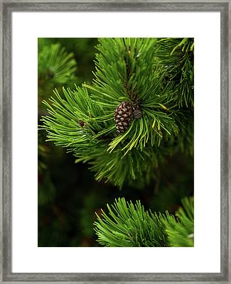 Baby Pine Cone Framed Print