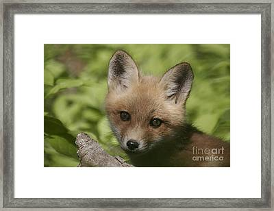 Baby Red Fox Framed Print by Robert Pearson