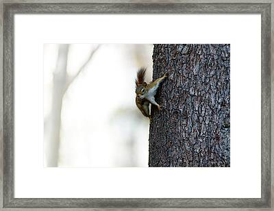 Baby Red Squirrel Framed Print by Bob Orsillo