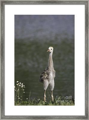Baby Sandhill Crane Framed Print