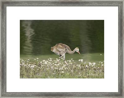 Baby Sandhill Crane Walking Through Wildflowers Framed Print