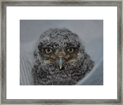 Baby Screech Owl Framed Print by Monteen  McCord