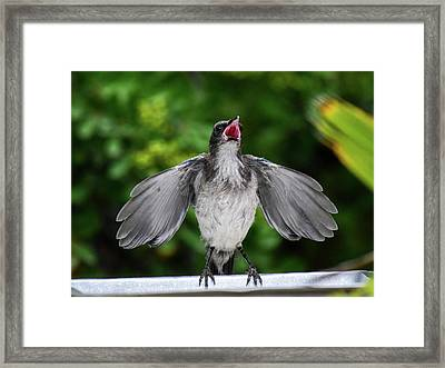 Baby Scrub Jay Wants Food Framed Print
