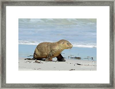 Baby Sea Lion On Seals Bay Framed Print