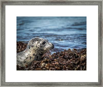 Baby Seal Framed Print