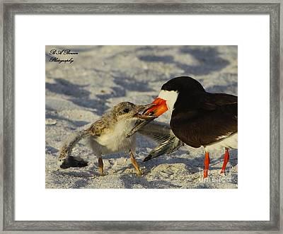 Baby Skimmer Feeding Framed Print by Barbara Bowen
