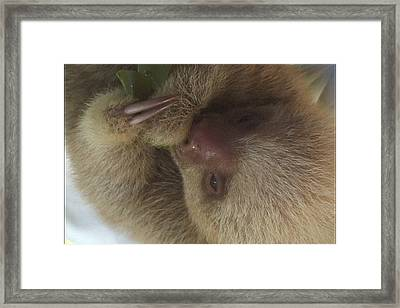 Baby Sloth Framed Print by Gregory Young