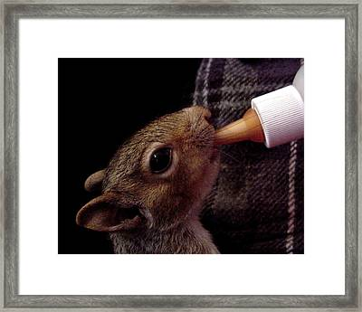 Baby Squirbit  Framed Print by Ross Powell