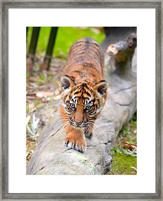 Baby Sumatran Tiger Cub Framed Print