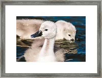 Baby Swan Close Up Framed Print