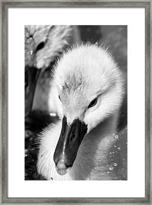 Baby Swan Headshot Framed Print