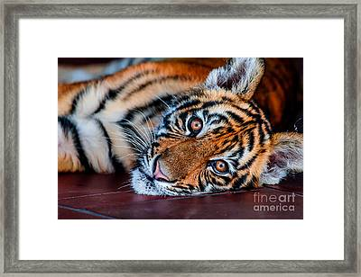 Baby Tiger Framed Print