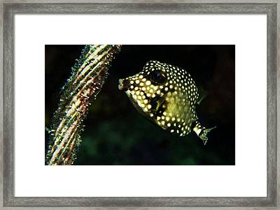 Baby Trunk Fish Framed Print by Jean Noren