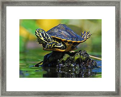 Baby Turtle Planking Framed Print