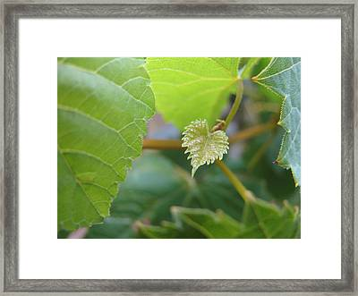 Framed Print featuring the photograph Baby Vine by Lindie Racz