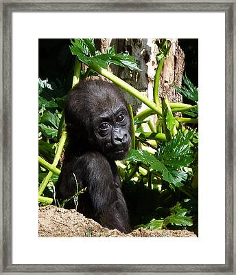 Baby Western Lowland Gorilla Framed Print by Margaret Saheed