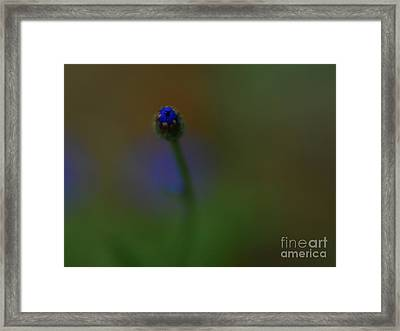 Bachelor Button Blues  Framed Print by Michelle Hastings