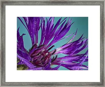 Bachelor Button Close Up Framed Print by Jean Noren