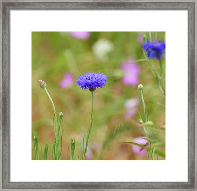 Bachelor Button Framed Print by Kathy Yates