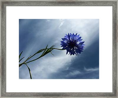 Bachelors Button 2015 Framed Print by Tina M Wenger