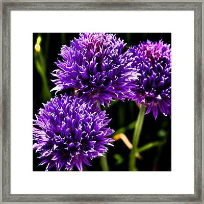 Bachelor's Buttons Framed Print by David Patterson