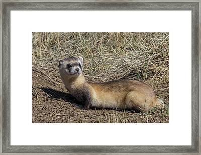 Back-footed Ferret Keeps Watch Framed Print by Tony Hake
