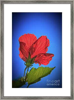 Back Lighting The Red Hibiscus  Framed Print by Robert Bales