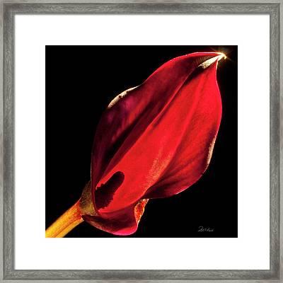 Back Lit Black Calla Lily Framed Print by Frederic A Reinecke