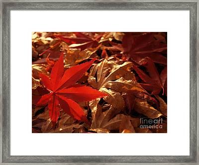 Back-lit Japanese Maple Leaf On Dried Leaves Framed Print by Anna Lisa Yoder