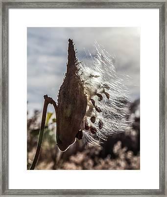 Back Lit Milkweed Pod Framed Print