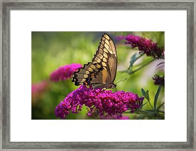 Back-lit Papilio Framed Print