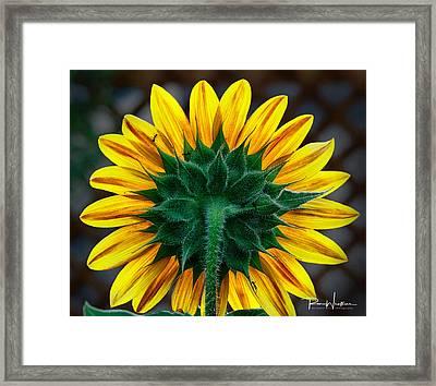 Back Of Sunflower Framed Print