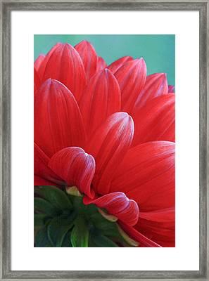 Back Side Of Red Dalia Framed Print by James Steele