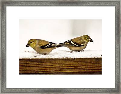 Back To Back American Gold Finches Framed Print