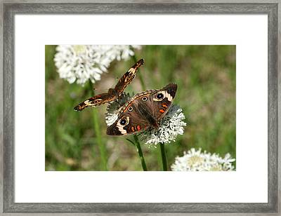 Back To Back Butterflies Framed Print